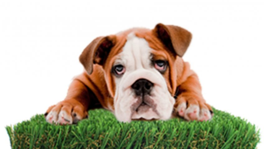 artificial grass for pets. Read All The News About Our Company. K9 Turf Blog Which Artificial Grass For Dogs Pets T